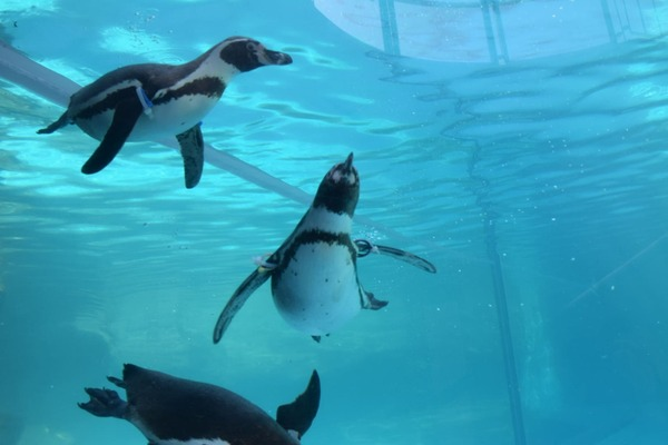 サービス精神旺盛なペンギン